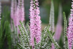 Вероника длиннолистная светло-розовая