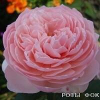 АЛНВИК THE ALNWICK ROSE