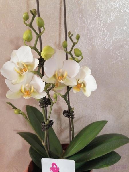 СП6 Сортовые, цветущие орхидеи - Орхиделия