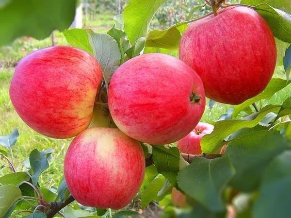 СП-23 Саженцы -плодовых и декоративных культур -САДЫ Красноярья.