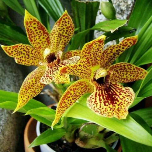 Орхорай - адениумы, фаленопсисы, дендробиумы,. Орхиата Горшки для орхидей Удобрения