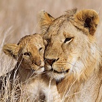 Мама львёночка